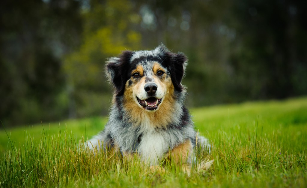 Australian Shepherd lying in grass field with natural tress